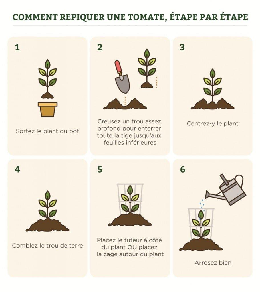 Comment repiquer une tomate, étape par étape