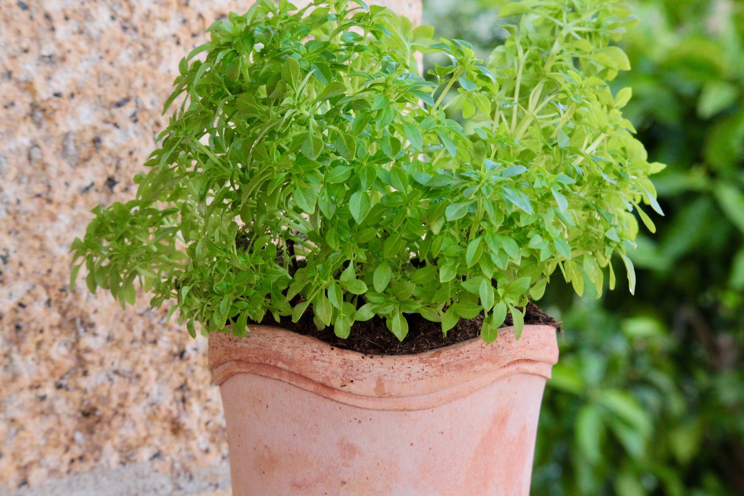 Quelle Plante Mettre Dans Un Grand Pot Exterieur les fines herbes : les cultiver, les conserver, les savourer