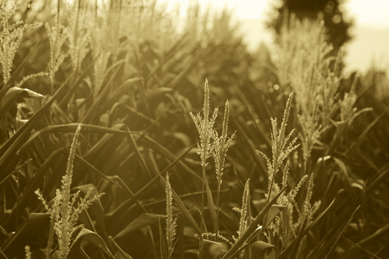 histoire-maïs