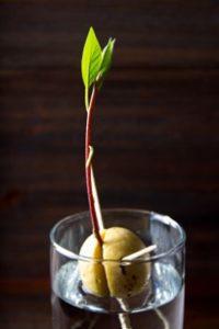 avocado-shoot