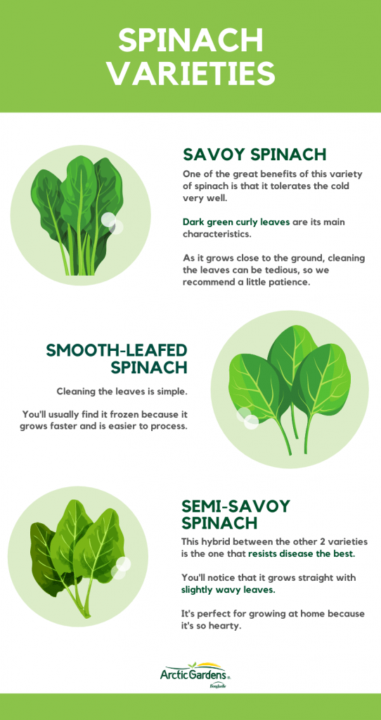 spinach-varities-Arctic-Gardens