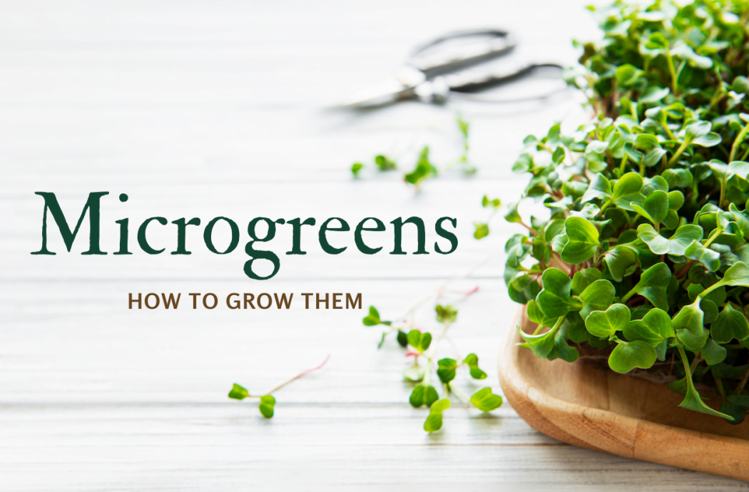 Microgreens-how-to-grow-them